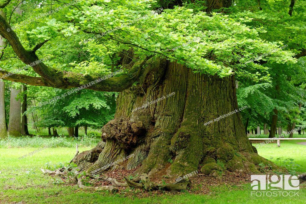Stock Photo: Oak of Ivenack, oldest oaks in Germany, Ivenack near Stavenhagen, Mecklenburg Lake District, Mecklenburg-Western Pomerania, Germany.
