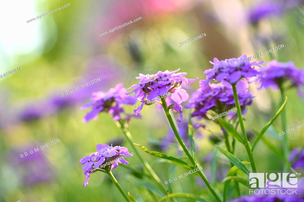 Stock Photo: globe candytuft, umbellate candytuft, common candy-tuft (Iberis umbellata), blooming.