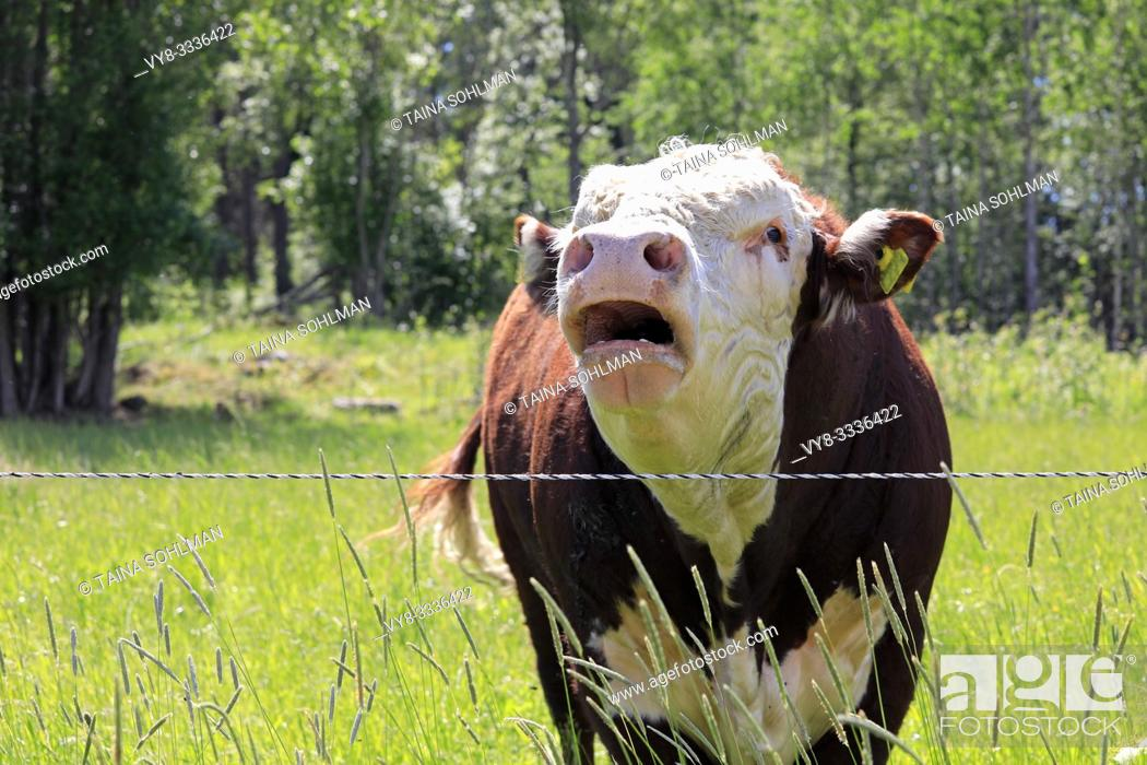 Stock Photo: Upset and angry Hereford bull bellowing in his pen on a sunny day of summer.