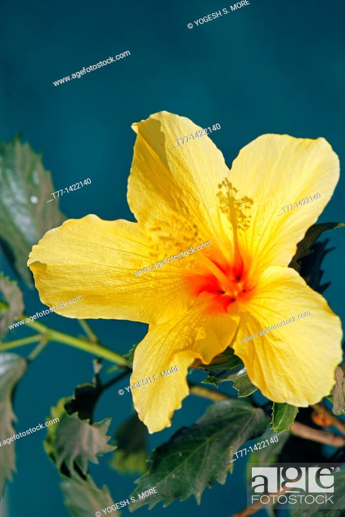 Stock Photo: Hibiscus rosa-sinensis, Yellow China Rose, Chinese hibiscus.
