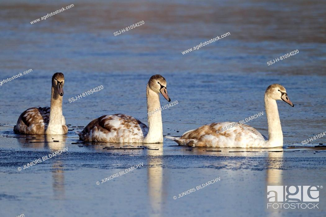 Stock Photo: Mute Swan (Cygnus olor). Thjree juveniles in first winter, swimming. Germany.