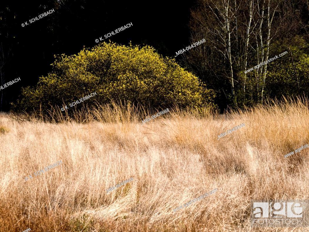 Stock Photo: Germany, Bavaria, Rhön Biosphere Reserve, UNESCO biosphere reserve, Naturschutzgebiet Schwarzes Moor (nature reserve), wind shaped moor grasses.
