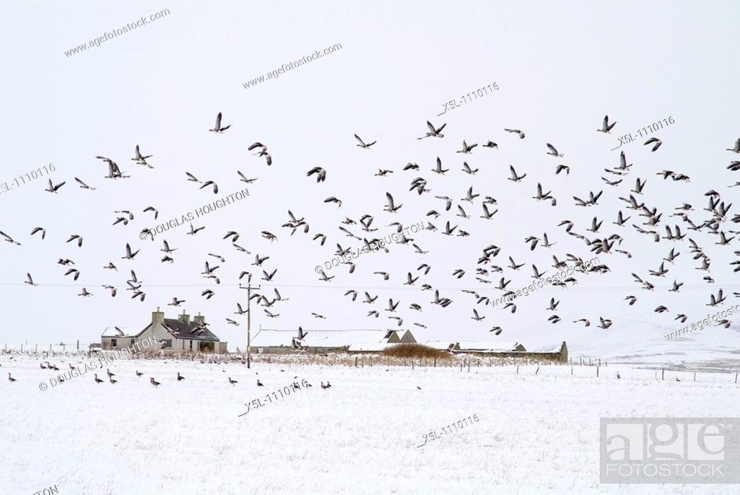 Stock Photo: STENNESS ORKNEY Flock of geese in field taking flight cottage snowscape.