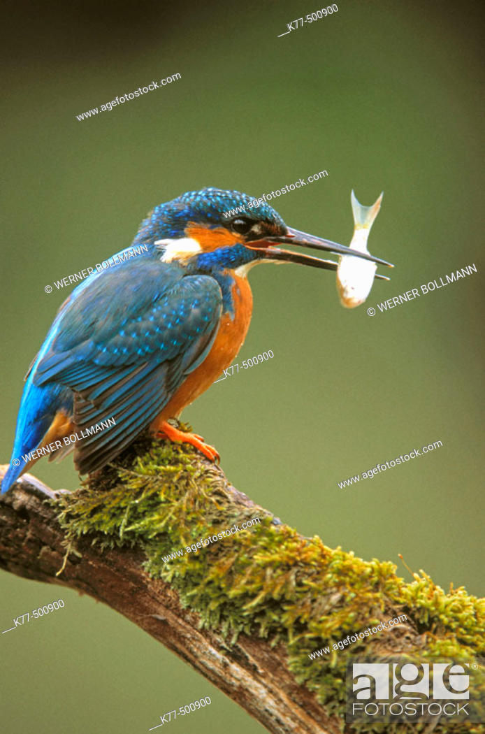 Stock Photo: Eurasian kingfisher, male with fish (Alcedo atthis). Germany.