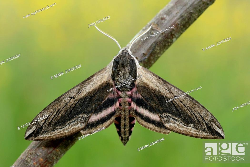 Stock Photo: Privet Hawk Moth (Sphinx ligustri) resting on a twig, England, Lincolnshire.