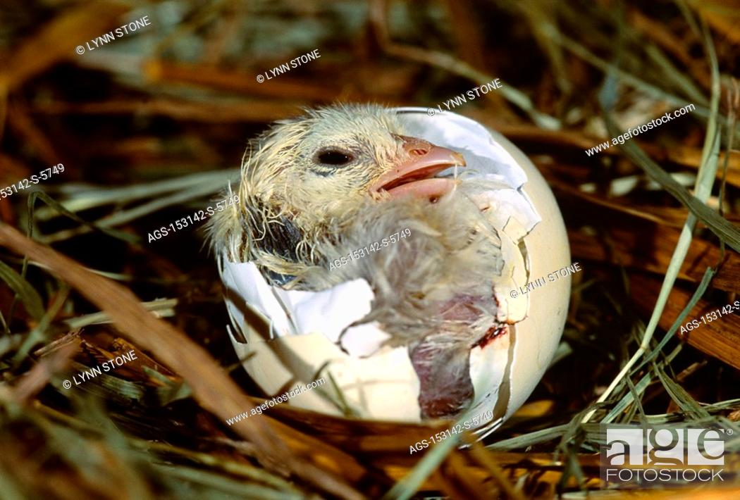 Stock Photo: Livestock - Poultry, a baby chicken chick emerges from an egg / IA.