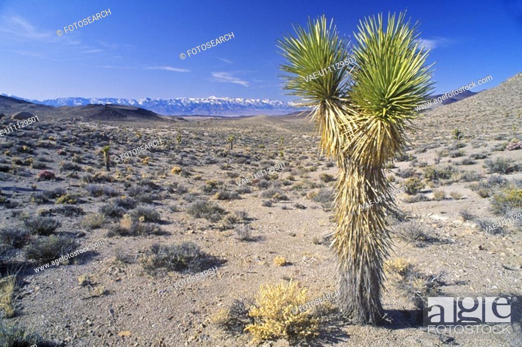 Stock Photo: Joshua Tree Desert in bloom, Yucca plants.