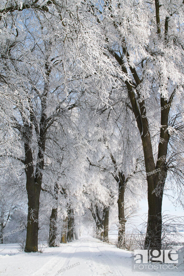 Stock Photo: winter alley, alley, trees, covered with snow, Augsburg area, Bavaria, Germany.
