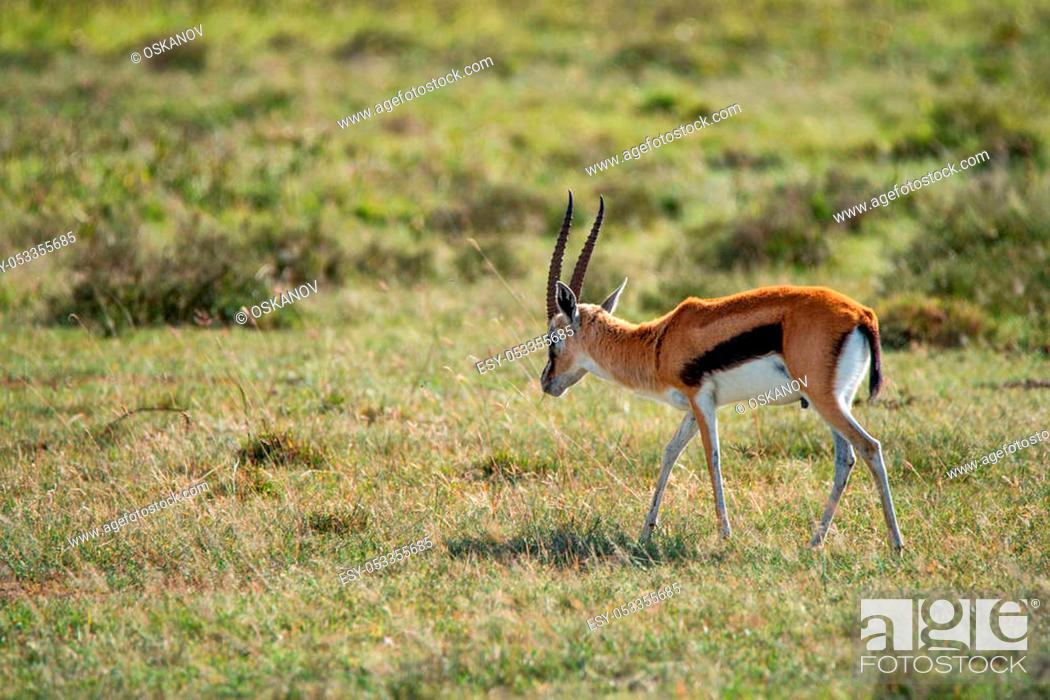Stock Photo: Wild Thompson's gazelle or Eudorcas thomsonii roams in savanna.