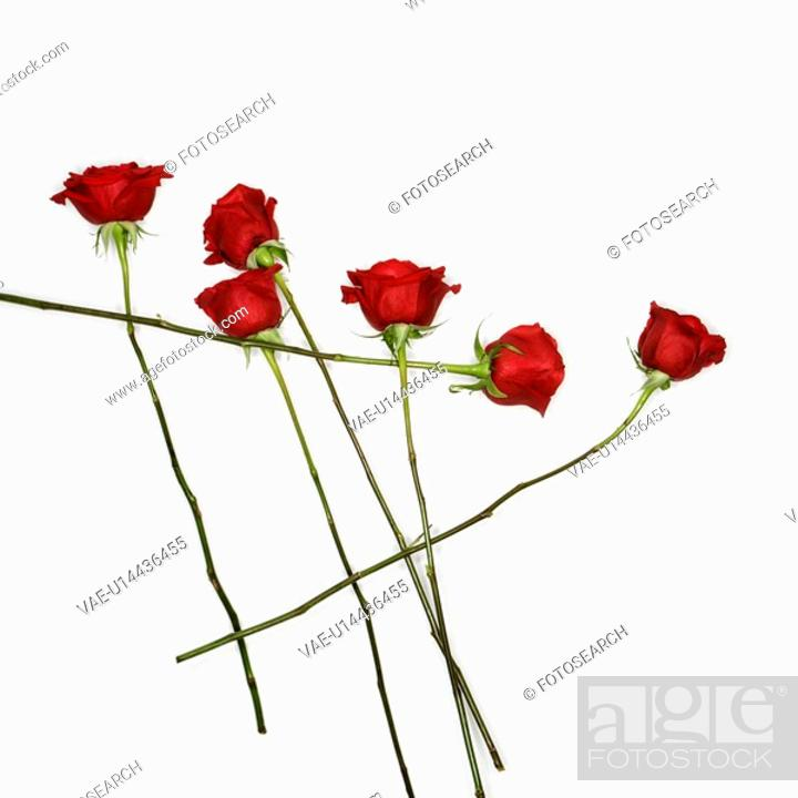 Stock Photo: Long-stemmed red roses spread out against white background.