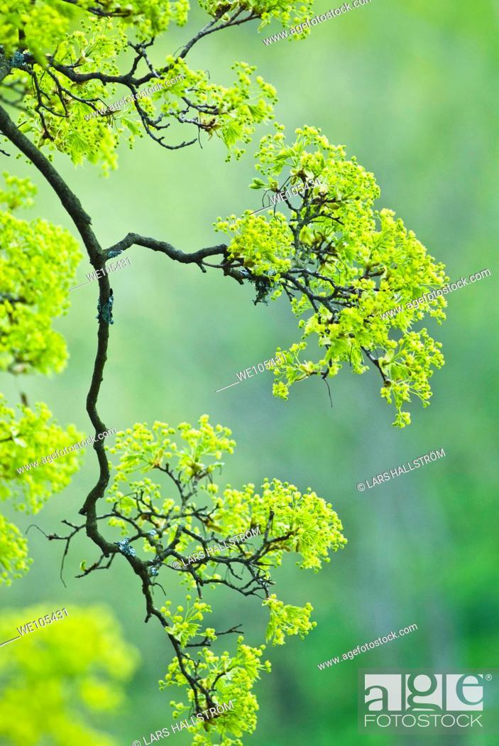 Stock Photo: Tree at Springtime, Sweden.