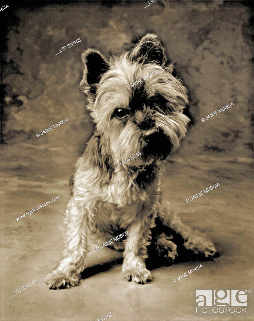 Stock Photo: Silky terrier.