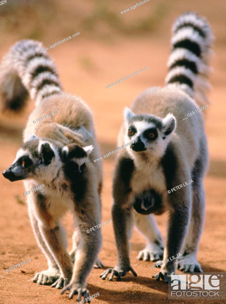 Stock Photo: Ring-tailed Lemur (Lemur catta). Berenty reserve. Madagascar.