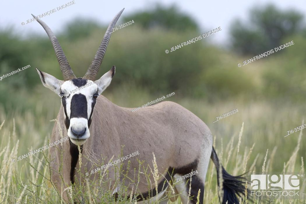 Stock Photo: Gemsbok (Oryx gazella), adult male, feeding on grass, Kgalagadi Transfrontier Park, Northern Cape, South Africa, Africa.