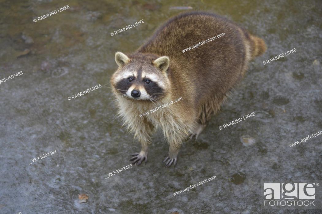 Imagen: Raccoon, Procyon lotor.
