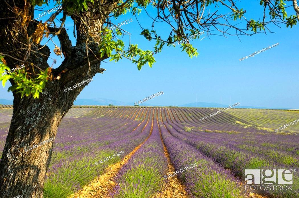 Stock Photo: France Provence-Alpes-Côte d'Azur, Alpes-de-Haute-Provence Valensole Lavendar Fields.