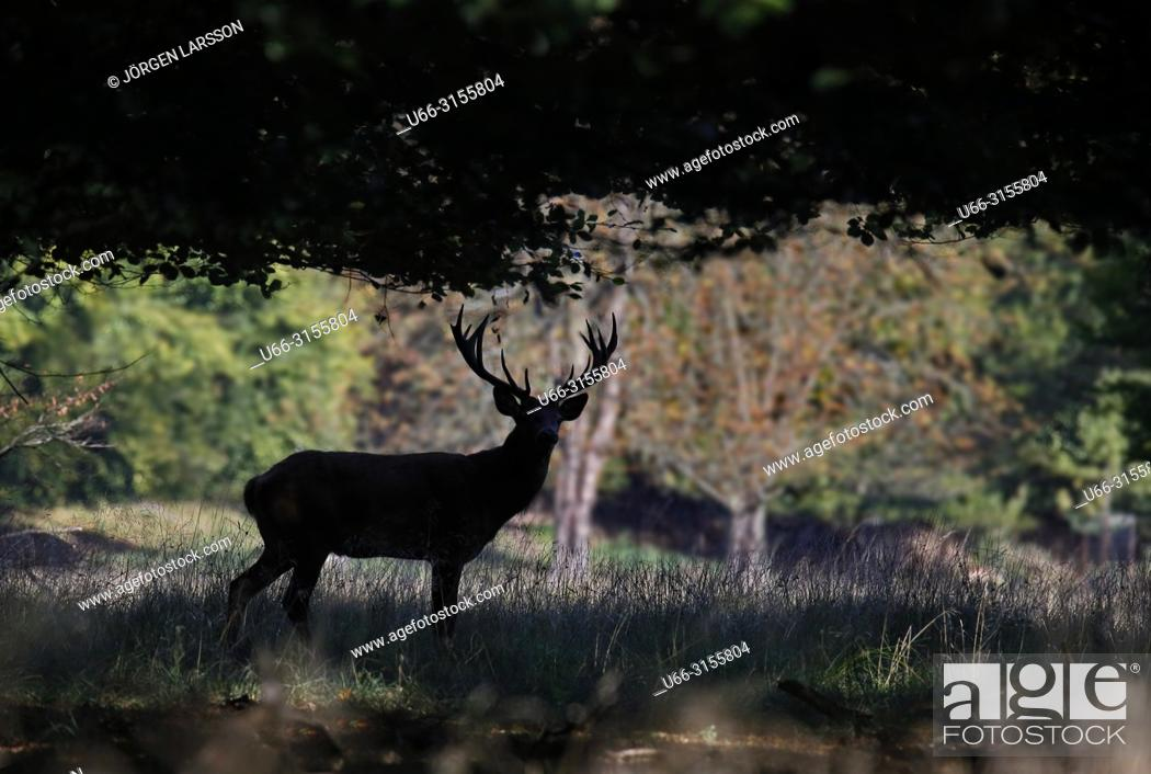 Stock Photo: Red Deer (Cervus elaphus), Jaegersborg, Denmark.