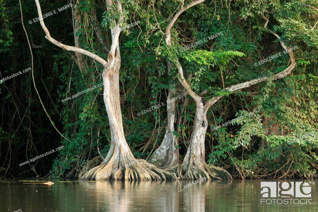 Stock Photo: Pterocarpus officinalis trees with buttressed root, Caruao river, Vargas coast, Venezuela.