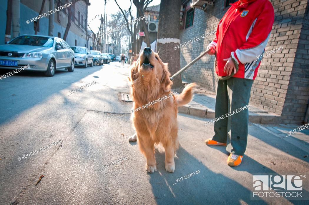 Stock Photo: Woman with golden retriever dog in Fuxue Hutong, Beijing, China.