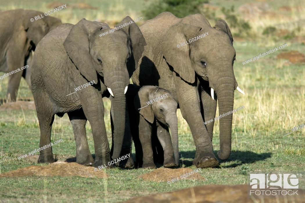 Stock Photo: African Elephant - Masai Mara National Reserve, Kenya.