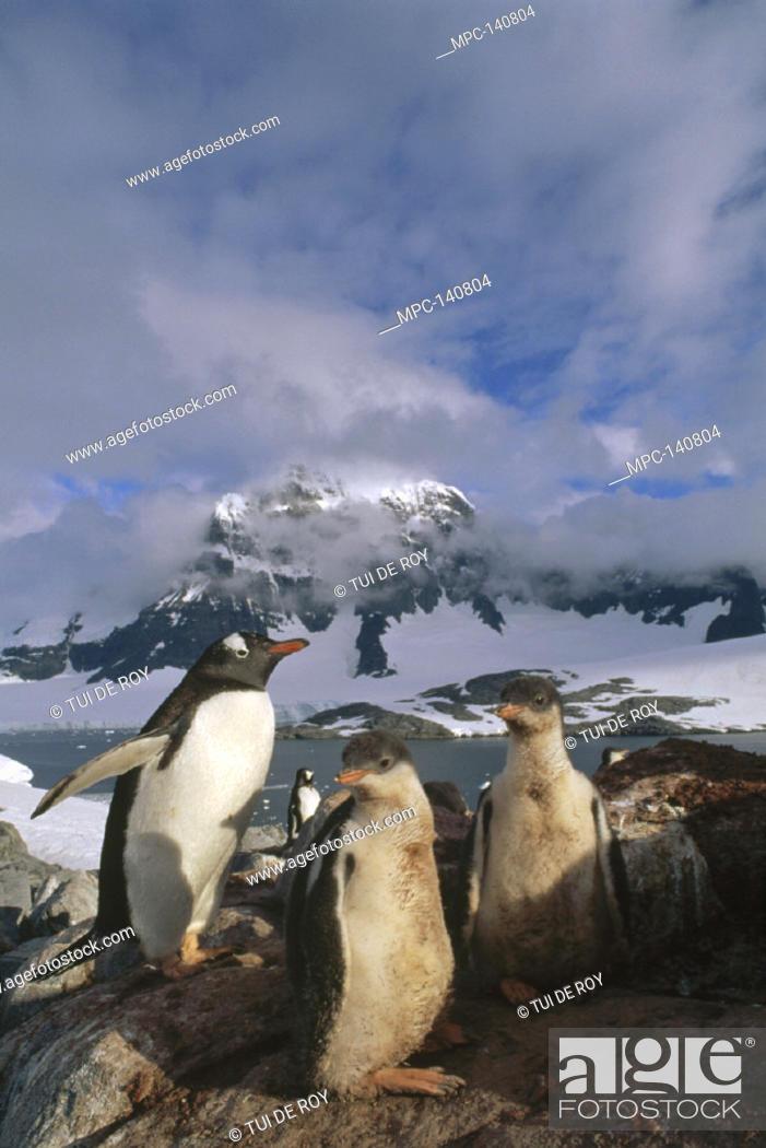 Stock Photo: GENTOO PENGUIN, (Pygoscelis papua) WITH WELL FED CHICKS, PORT LOCKROY, WIENCKE ISLAND, ANTARCTIC PENINSULA, ANTARCTICA.