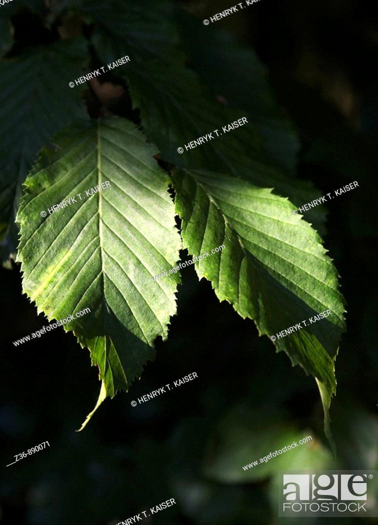 Stock Photo: Leaves, close-up.
