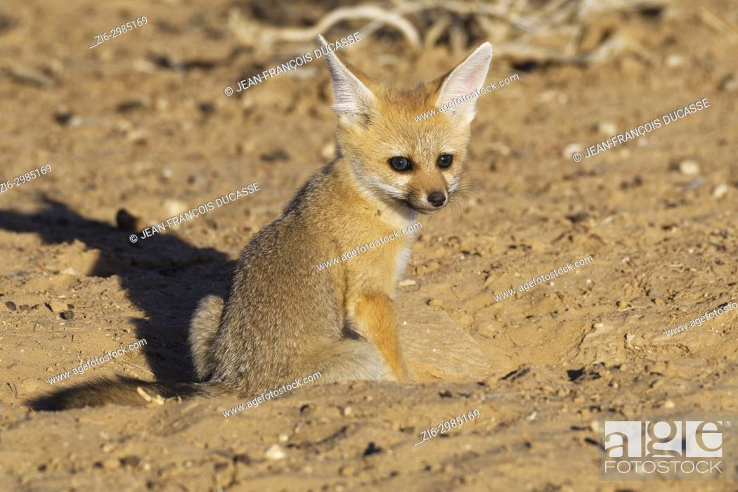 Stock Photo: Cape fox (Vulpes chama), cub looking out from burrow entrance, evening light, Kgalagadi Transfrontier Park, Northern Cape, South Africa, Africa.