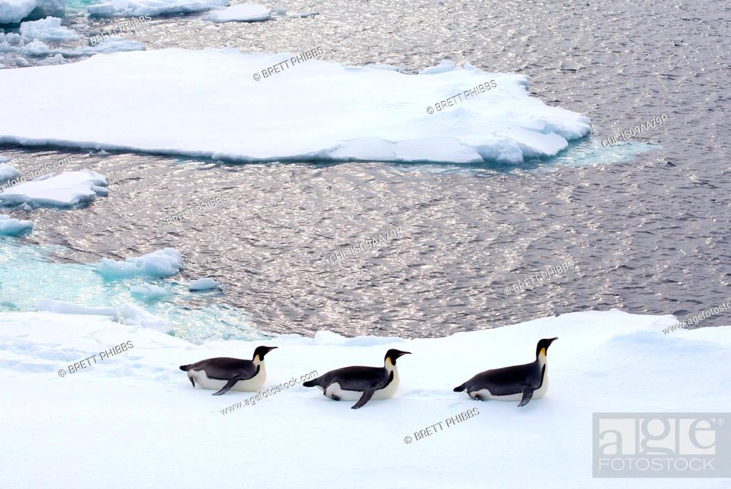 Imagen: Emperor Penguins on iceberg, ice floe in the southern ocean, 180 miles north of East Antarctica, Antarctica.