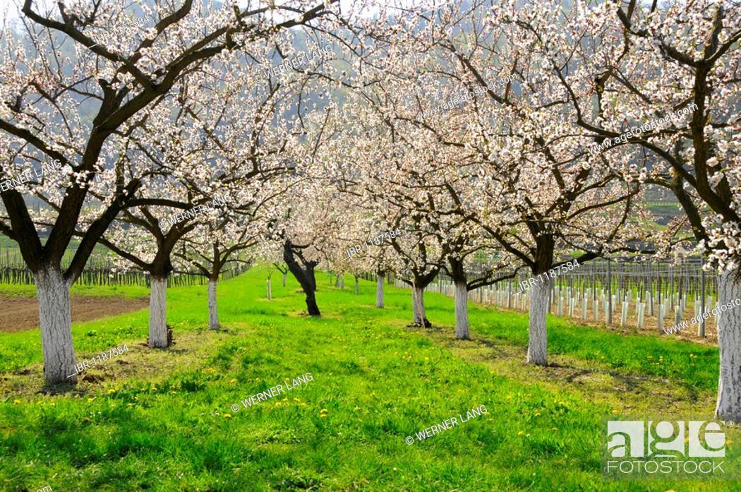 Apricot Trees Prunus Armeniaca In Bloom Wachau Austria S Biggest