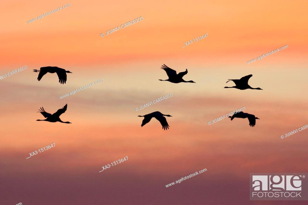 Stock Photo: Flok of common cranes, Grus grus, in flight at sunset, Gallocanta, Teruel, Spain.