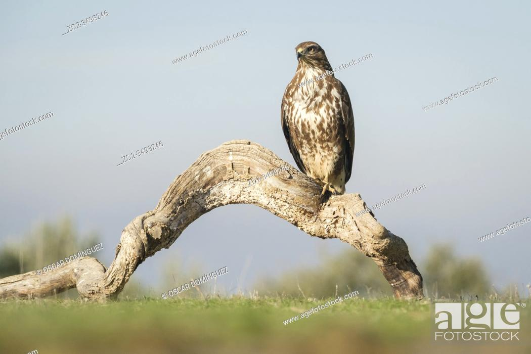 Imagen: Eurasian Buzzard (Buteo buteo) perched on a dead tree. Lleida province. Catalonia. Spain.