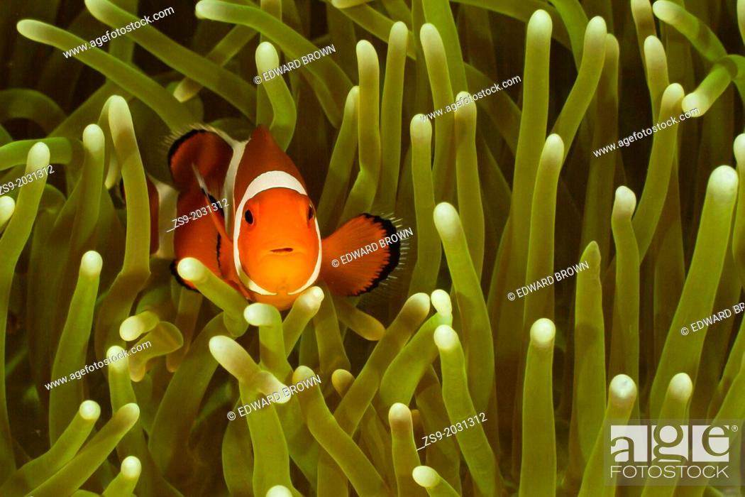Stock Photo: Common clownfish - Amphiprion ocellaris, Lankayan, Malaysia.