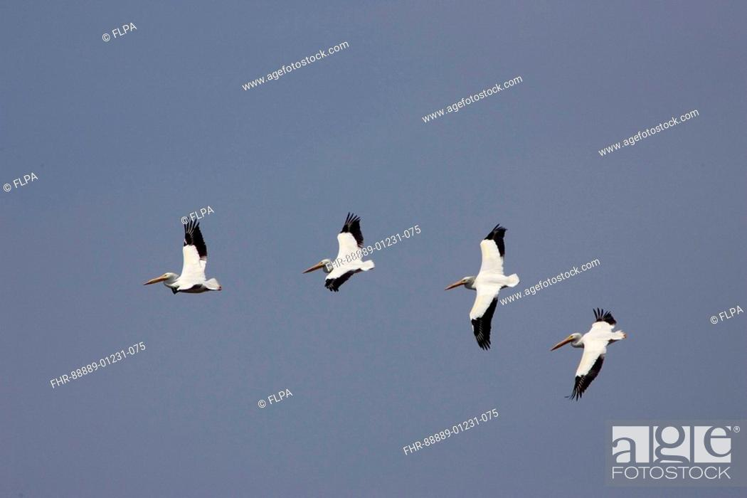 Stock Photo: American white Pelicans, Pelecanus erythrorhynchos, flying.