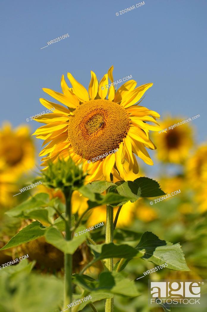 Stock Photo: Sonnenblumenfeld, Sonnenblume blühend, mit blauem Himmel,.