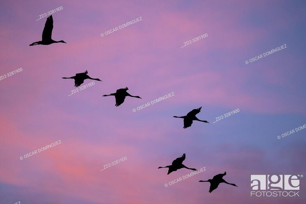 Imagen: Common Crane (Grus grus) flying in to land at sunset. Gallocanta lagoon. Zaragoza province. Aragon. Spain.
