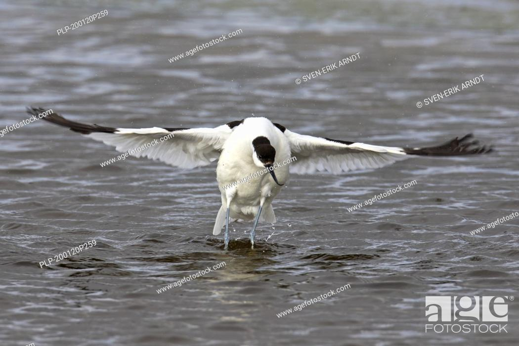 Stock Photo: Pied avocet (Recurvirostra avosetta) in shallow water flapping wings dry after bathing.