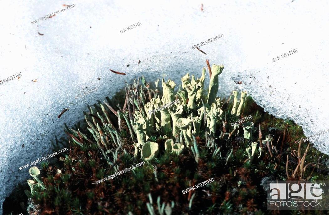 Stock Photo: lichens Cladonia spec..