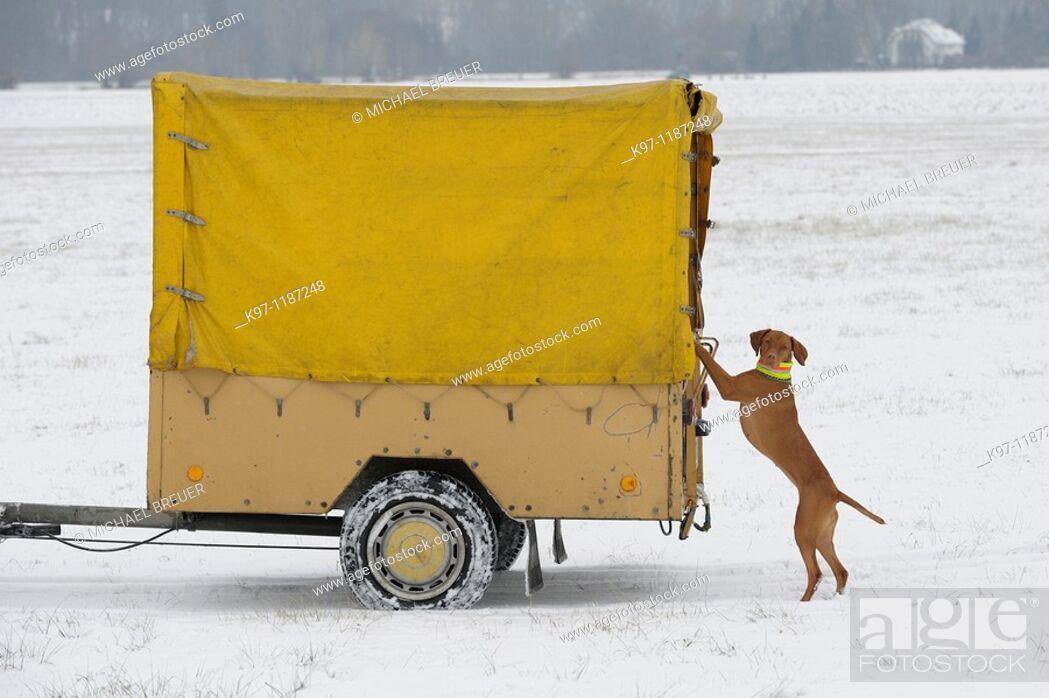 Stock Photo: Hound (Magyar Viszla) in winter, Germany.
