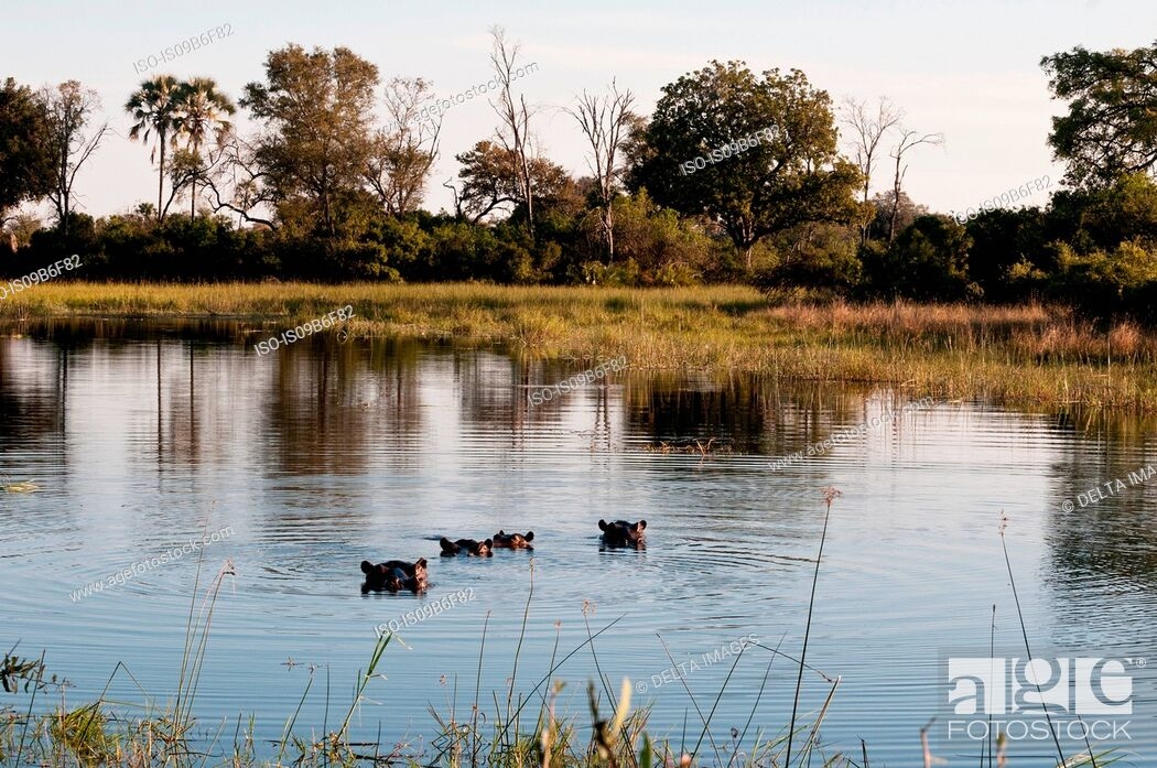 Stock Photo: Hippopotamuses (Hippopotamus amphibius) submerged in water, Okavango Delta, Botswana.