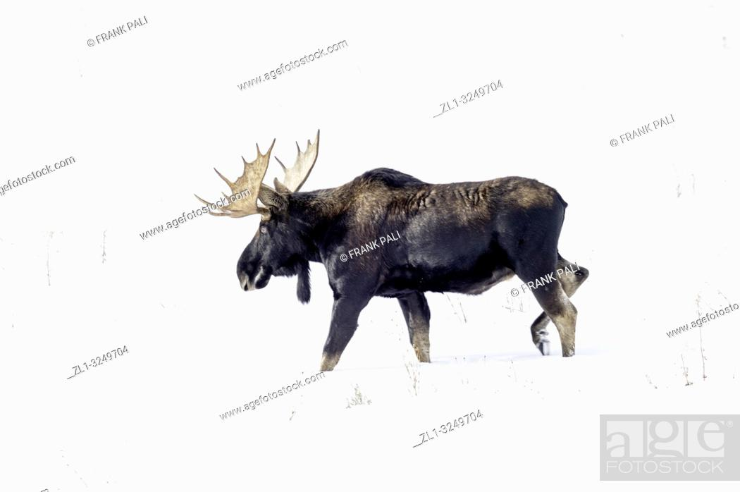 Stock Photo: Bull Moose in Yellowstone Park.