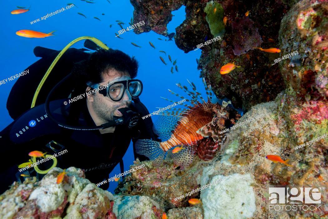 Stock Photo: Scuba diver looks at Red lionfish (Pterois volitans), Red sea, Dahab, Sinai Peninsula, Egypt.