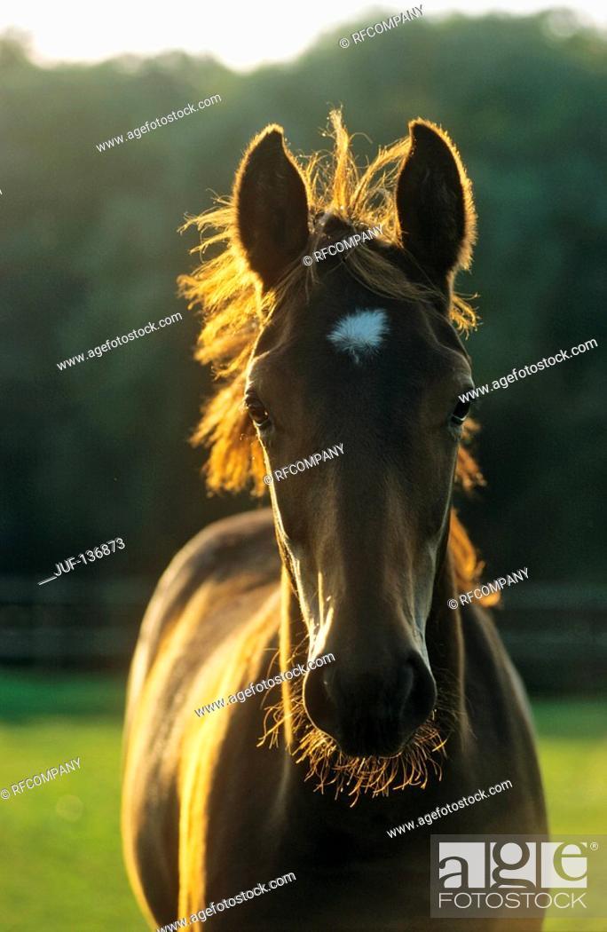 Stock Photo: warmblood horse - foal.