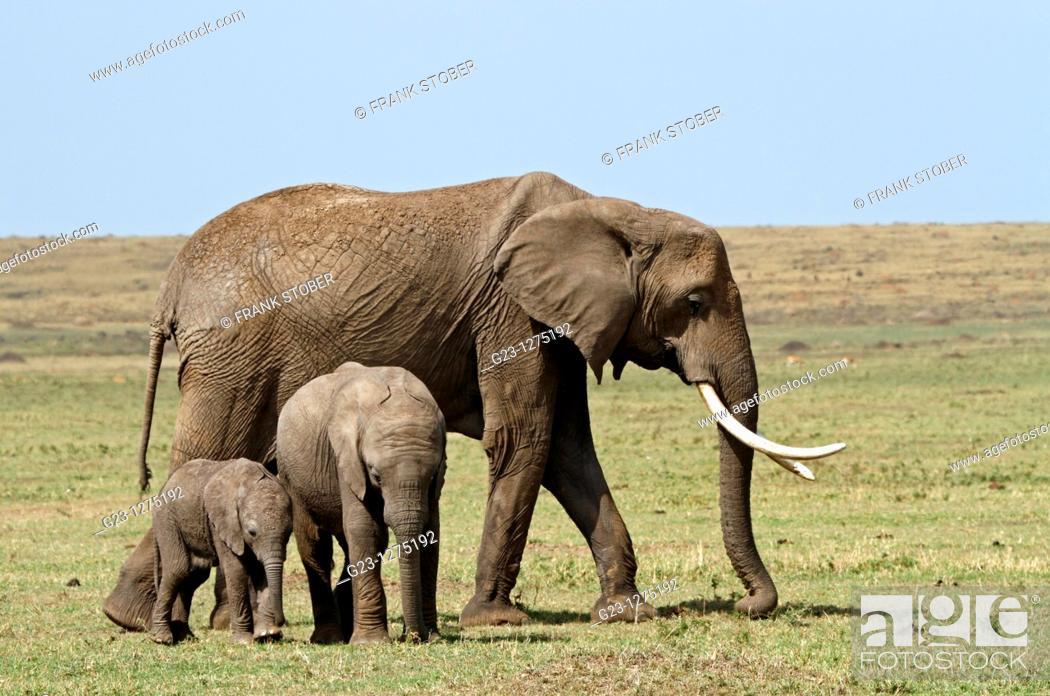 Stock Photo: Elephant family.