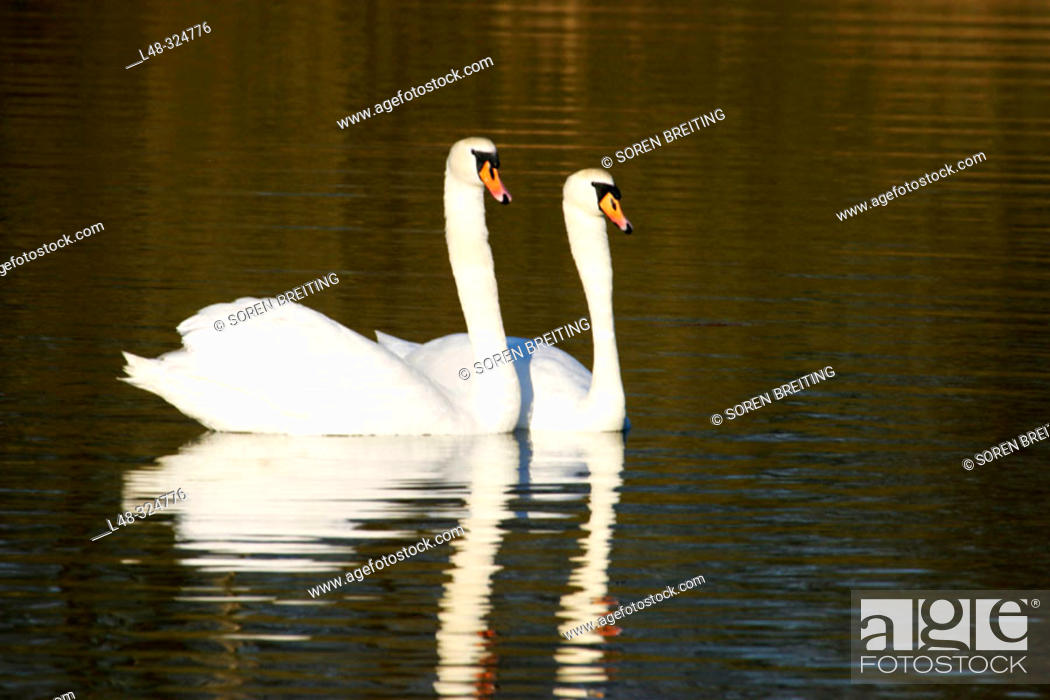 Stock Photo: White swans, Mute swane (Cygnus olor) swimming in pair at lake in Europe as part of their courtship in early breeding season.