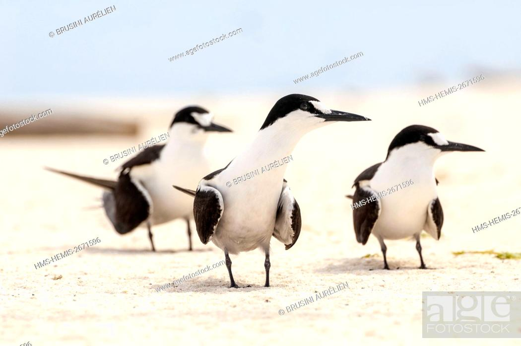 Stock Photo: Seychelles, Bird Island, 3 terns on the white sandy beach among the colony of 1.5 million sooty terns (Onychoprion fuscatus), in March.