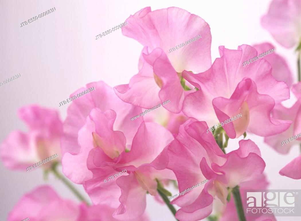 Stock Photo: Concept Pink Lathyrus odoratus Japan Flower.