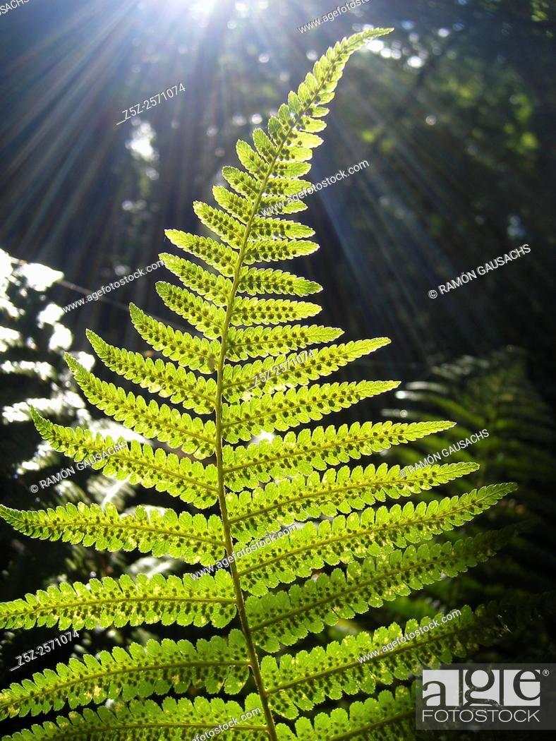 Stock Photo: Common bracken. Fern (Pteridium aquilinum). Catalonia, Spain.