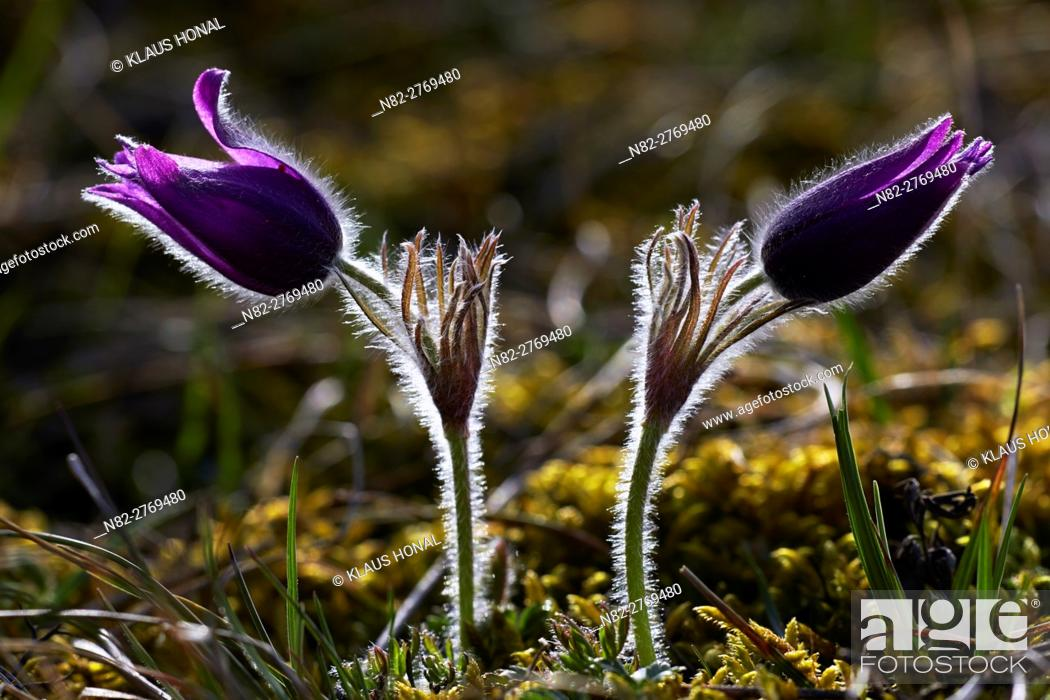 Stock Photo: Pasque Flowers or Common Pasque flowers (Pulsatilla vulgaris) blooming in spring on calcareous soil - Naturpark Altmuehltal, Bavaria/Germany.