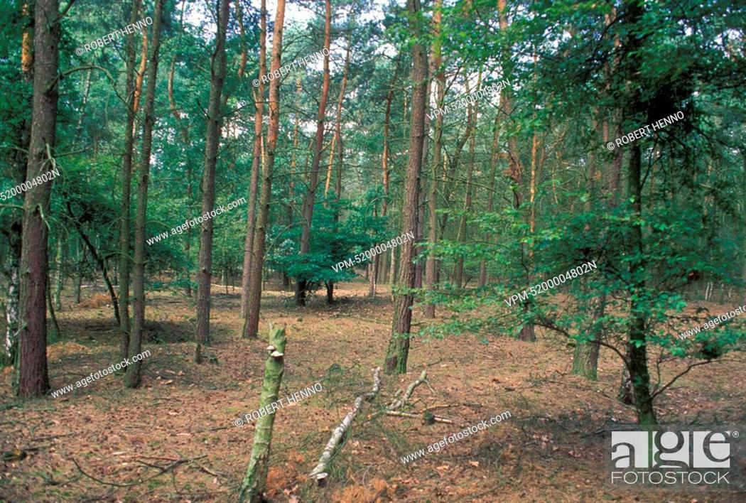 Stock Photo: BELGIUM - KALMTHOUT - KALMTHOUTSE HEIDE NRPINE FOREST.