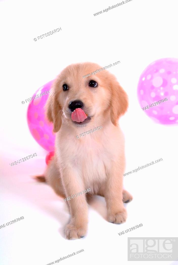 Stock Photo: looking up, golden retriever, domestic animal, balloon, retriever, close up, Golden Retriever.